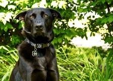 Berger noir Dog regardant l'appareil-photo son arrière-cour avec le regard stunned pendant l'été Photo stock
