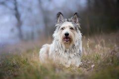 Berger-picard Hund im Winter das Feld stockbild