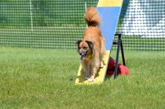 Berger pyrénéen au procès d'agilité de chien Images libres de droits
