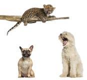 Berger pyrénéen, bouledogue français, petit animal repéré de léopard Photographie stock