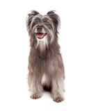 Berger pyrénéen de sourire Dog Sitting Image stock