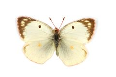 Berger's Clouded Yellow Stock Photos