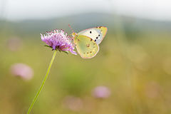 Berger`s Clouded Yellow butterfly, Colias alfacariensis. On scabious flower Stock Photography
