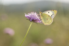 Berger's Clouded Yellow - Colias sareptensis - on Mournful Widow Stock Images