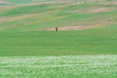 Berger seul sur un cheval Myriades de marguerites blanches C?te verte Saison d'?t? photo stock