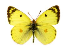Bergers Clouded Yellow butterfly. Bergers Clouded Yellow (Colias sareptensis) butterfly Stock Images