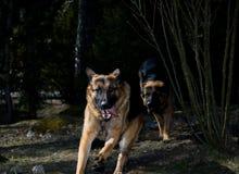 Bergers de l'Allemagne de chasse images stock