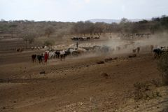 Bergers des vaches en Tanzanie Images stock
