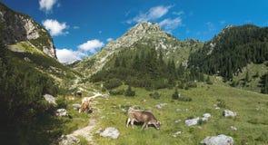 Berget betar i planinaen Duplje nära den Krnsko jezerosjön i Julian Alps Arkivbild