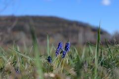 Berget blommar muscarien Arkivfoto
