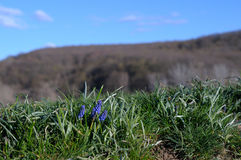 Berget blommar muscarien Fotografering för Bildbyråer