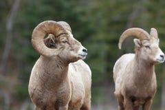 Bergfår Ram Profile royaltyfria bilder