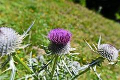 Bergflora i Trisanna Vally - Galtur Royaltyfri Bild