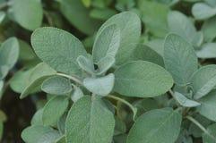 Berggarten Sage Salvia officinalis. Close-up of the herb, Berggarten Sage - Salvia officinalis Royalty Free Stock Photography
