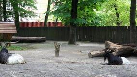 Berggeit in de dierentuin Leuke geit bij dierentuin of landbouwbedrijf stock video