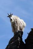 Berggeit die in de zon op de Piek van Harney van Custer State Park in de Zwarte Heuvels van Zuid-Dakota glanzen stock foto's