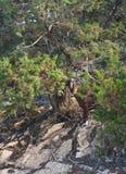 Berggeit die zich onder boom bevinden Stock Afbeeldingen