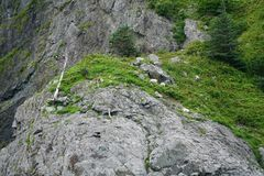 Berggeit, Kaal Eagles stock foto's