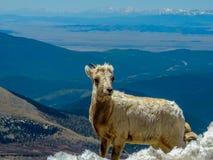 Berggeit met de mening van Colorado stock afbeelding