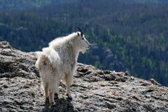 Berggeit op Harney-Piek die de Zwarte Heuvels van Zuid-Dakota de V.S. overzien stock foto's