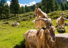 Berggeiten in Alpien Landschap - Italië Stock Afbeeldingen