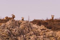 Berggeiten op een Berg Royalty-vrije Stock Foto