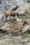 Berggeiten, vriendschappelijke dieren bij de Dierentuin van Praag Royalty-vrije Stock Foto's