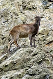 Berggeiten, vriendschappelijke dieren bij de Dierentuin van Praag Royalty-vrije Stock Afbeelding