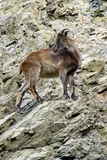 Berggeiten, vriendschappelijke dieren bij de Dierentuin van Praag Stock Afbeelding