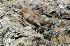 Berggeiten, vriendschappelijke dieren bij de Dierentuin van Praag Stock Foto