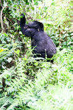 Berggorilla royaltyfria foton