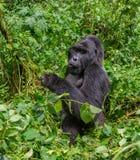 Berggorilla, der Anlagen isst uganda Bwindi undurchdringlicher Forest National Park Lizenzfreie Stockbilder