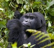 Berggorilla, der Anlagen isst uganda Bwindi undurchdringlicher Forest National Park Lizenzfreies Stockfoto