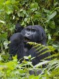 Berggorilla, der Anlagen isst uganda Bwindi undurchdringlicher Forest National Park Stockbilder