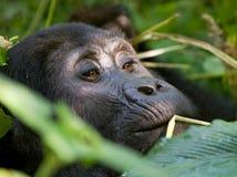 Berggorilla, der Anlagen isst uganda Bwindi undurchdringlicher Forest National Park Stockfotografie
