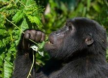 Berggorilla, der Anlagen isst uganda Bwindi undurchdringlicher Forest National Park Stockbild