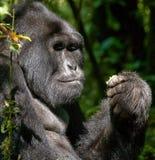 Berggorilla, der Anlagen isst uganda Bwindi undurchdringlicher Forest National Park Lizenzfreies Stockbild