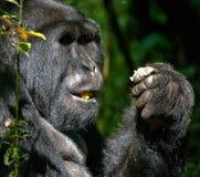 Berggorilla, der Anlagen isst uganda Bwindi undurchdringlicher Forest National Park Stockfotos