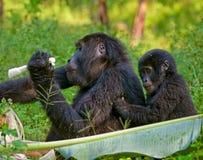 Berggorilla, der Anlagen isst uganda Bwindi undurchdringlicher Forest National Park Lizenzfreie Stockfotografie