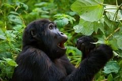Berggorilla, der Anlagen isst uganda Bwindi undurchdringlicher Forest National Park Lizenzfreie Stockfotos