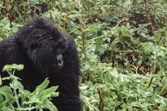 Berggorilla, der im Wald denkt Lizenzfreie Stockfotos