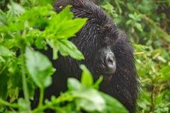 Berggorilla, der im Wald denkt Lizenzfreies Stockbild