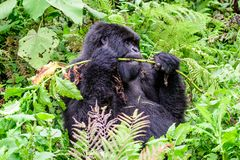 Berggorilla, der im Wald genießt Lizenzfreie Stockfotografie