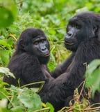 Berggorilla's in het regenwoud Oeganda Bwindi Ondoordringbaar Forest National Park stock foto's