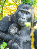 Berggorillafamilie - Baby mit Mutter im Wald, Uganda, Afrika Stockfoto
