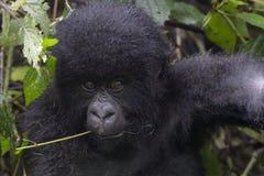 Berggorillan behandla som ett barn arkivfoton