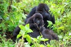Berggorillas im Vulkan-Nationalpark von Ruanda Stockfotografie