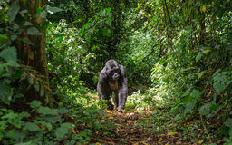 Berggorillor i rainforesten Uganda Bwindi ogenomträngliga Forest National Park arkivfoto