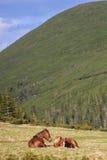 Berghästar Arkivfoto