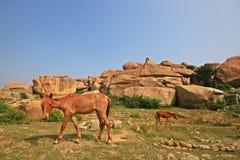 Berghästar i historiskt ställe Arkivfoto